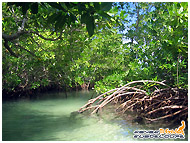 photo mangrove guadeloupe